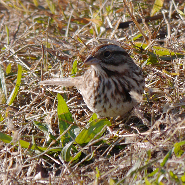 Ed Gaillard: recent &emdash; Song Sparrow, Randall's Island