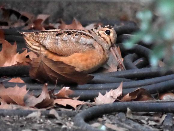 Ed Gaillard: birds &emdash; American Woodcock, Bryant Park