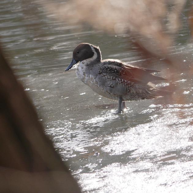Ed Gaillard: birds &emdash; Northern Pintail, Van Cortlandt Park