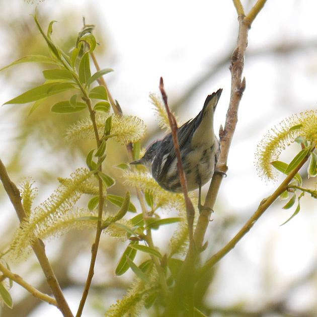 Ed Gaillard: birds &emdash; Cerulean Warbler, Central Park