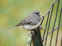 Dark-Eyed Junco, Central Park