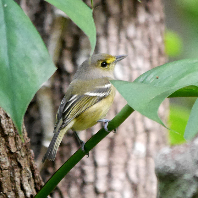Ed Gaillard: birds &emdash; Thick-Billed Vireo, New Providence, Bahamas