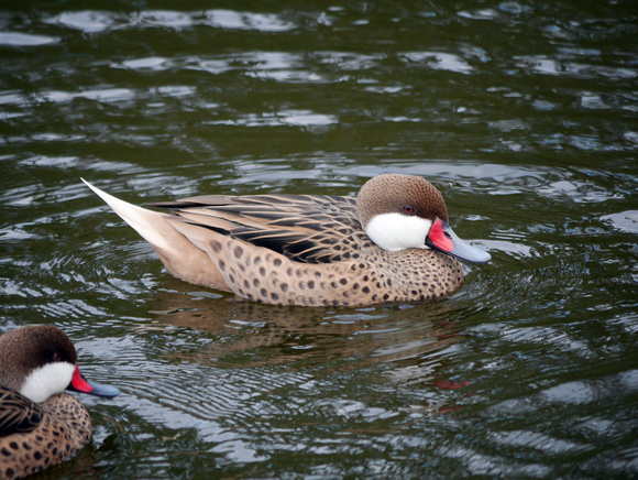 Ed Gaillard: birds &emdash; White-Cheeked Pintail (Bahama Duck(, New Providence, Bahamas