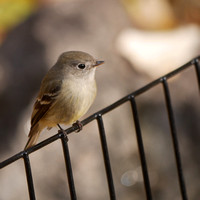 Hammond's Flycatcher, Central Park