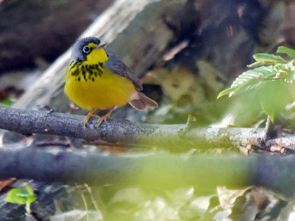 Ed Gaillard: recent &emdash; Canada Warbler, Central Park