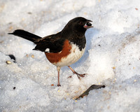 Rufous-Sided Towhee, Central Park