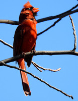Northern Cardinal singing, Central Park