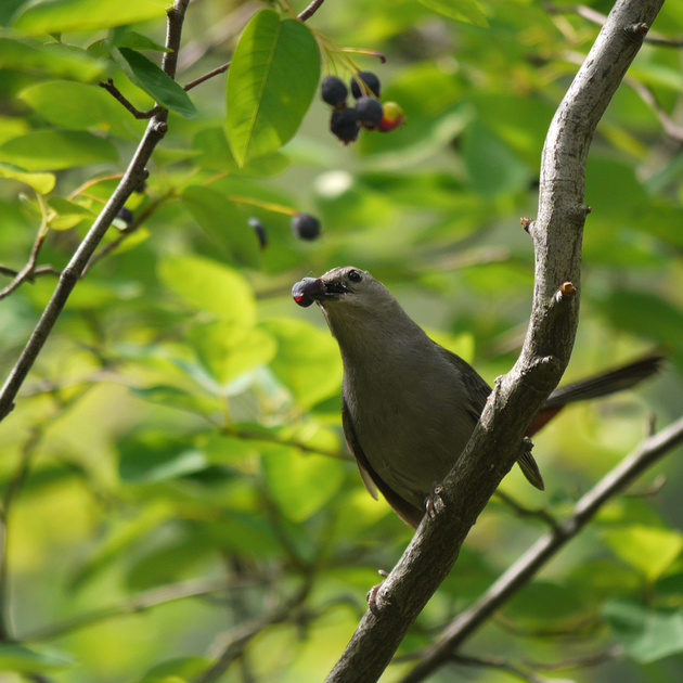Ed Gaillard: birds &emdash; Catbird eating berry, The Pond, Central Park