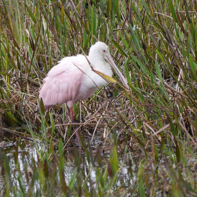 Ed Gaillard: birds &emdash; Roseate Spoonbill, Green Cay