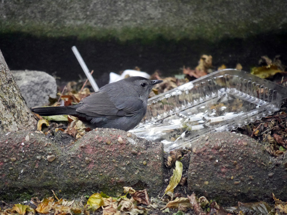 Ed Gaillard: birds &emdash; Gray Catbird, St. Bartholomew's Church