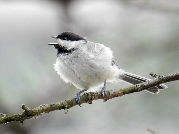 Ed Gaillard: birds &emdash; Black-Capped Chickadee, Quincy MA
