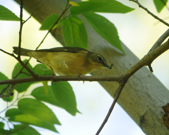 Ed Gaillard: birds &emdash; Black-Throated Blue Warbler (female), Central Park