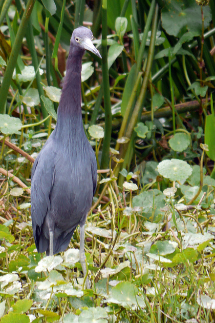 Ed Gaillard: birds &emdash; Little Blue Heron, Green Cay