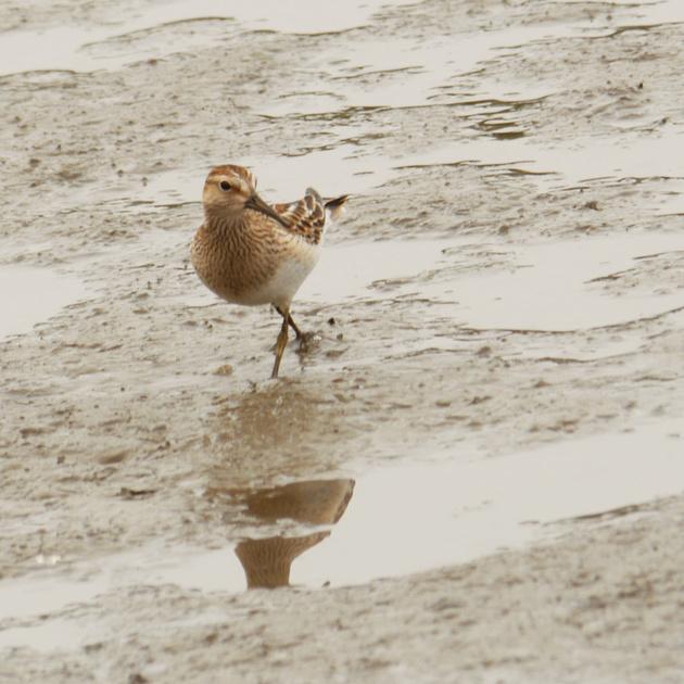Ed Gaillard: birds &emdash; Pectoral Sandpiper, Inwood Hill Park