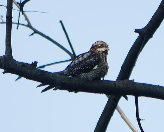 Ed Gaillard: birds &emdash; Common Nighthawk, Central Park
