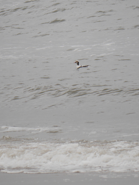Ed Gaillard: birds &emdash; Long-Tailed Duck, Fort Tilden