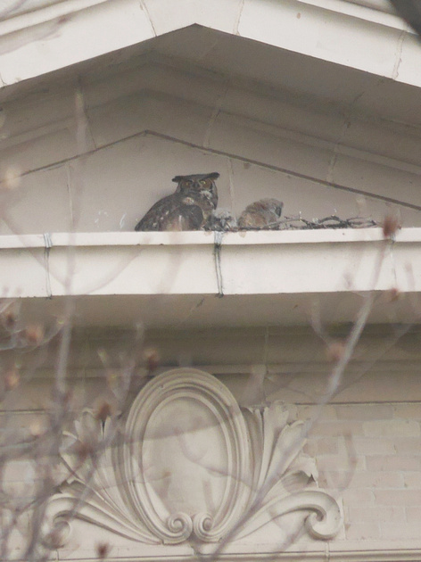 Ed Gaillard: birds &emdash; Great Horned Owls, Bronx NY