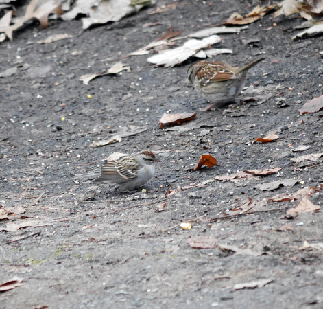Ed Gaillard: birds &emdash; Chipping Sparrow, Central Park