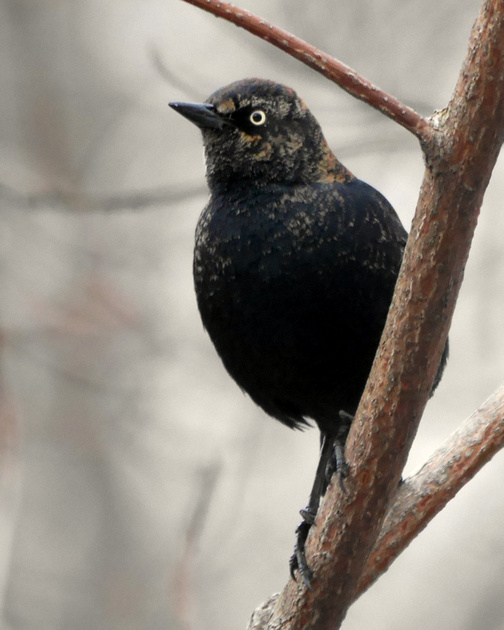 Ed Gaillard: recent &emdash; Rusty Blackbird, near Azalea Pond, Central Park