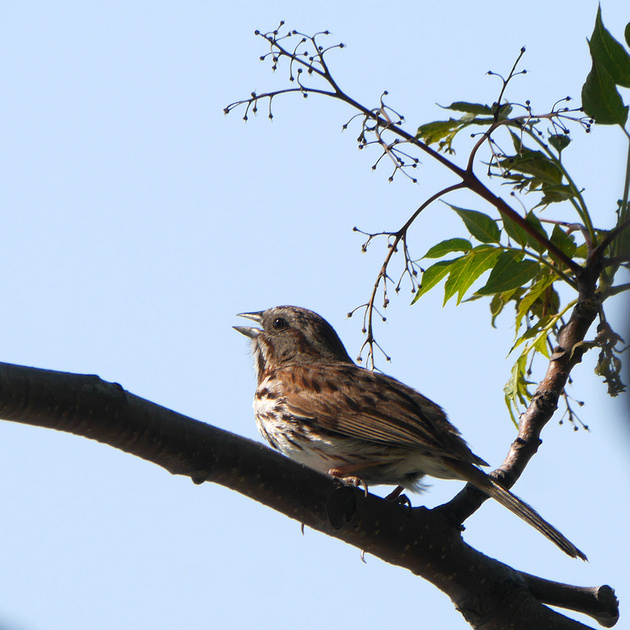 Ed Gaillard: birds &emdash; Song Sparrow, Inwood Hill Park