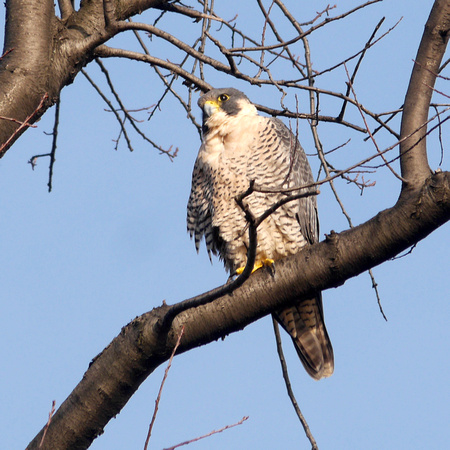 Peregrine Falcon, Central Park