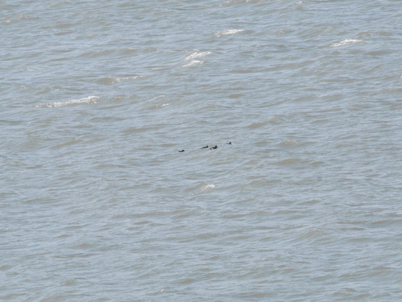 Ed Gaillard: recent &emdash; White-Winged Scoters, Inwood Hill Park