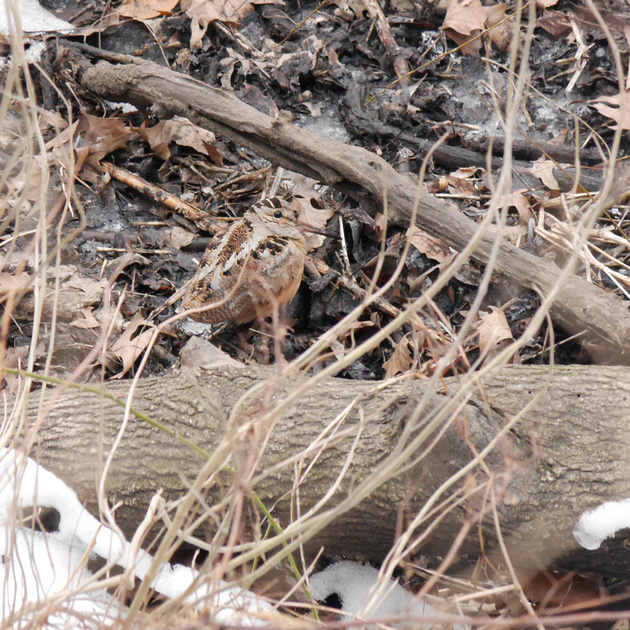 Ed Gaillard: recent &emdash; American Woodcock, Central Park