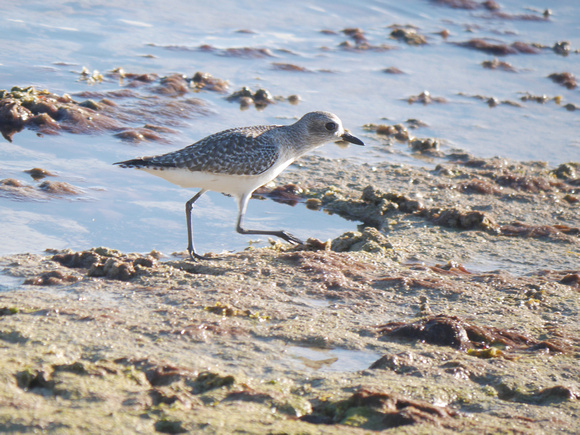 Ed Gaillard: birds &emdash; Black-Bellied Plover, New Providence, Bahamas