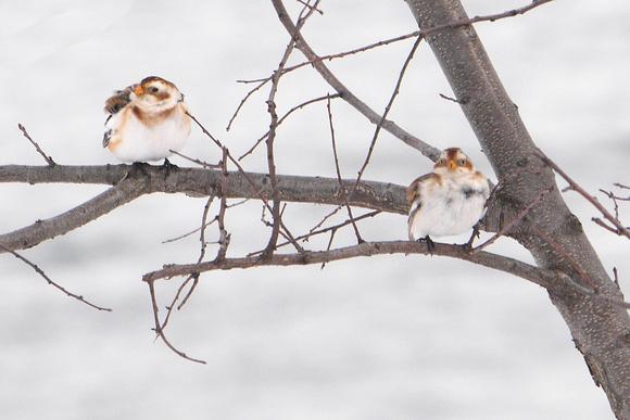 Ed Gaillard: recent &emdash; Snow Buntings, Randall's Island