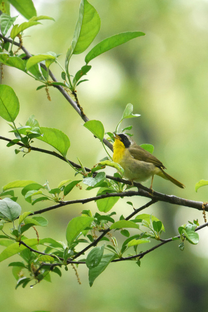 Ed Gaillard: birds &emdash; Common Yellowthroat singing, Central Park