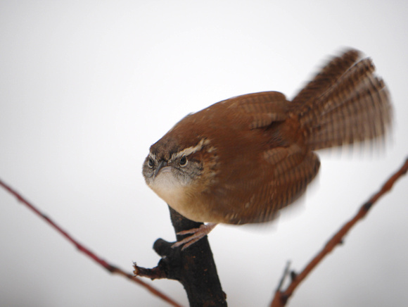 Ed Gaillard: recent &emdash; Carolina Wren, Central Park