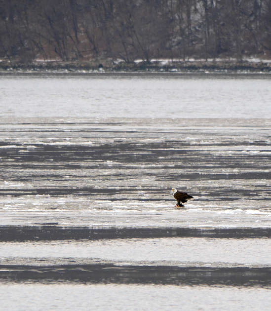 Ed Gaillard: birds &emdash; Bald Eagle, Hudson River at Dyckman Street