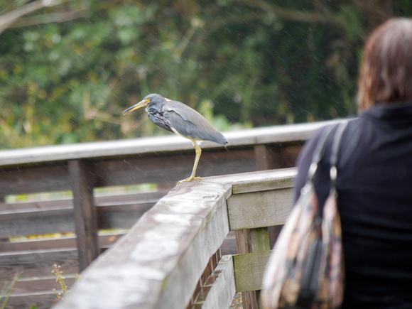 Ed Gaillard: birds &emdash; Tricolored Heron, Green Cay
