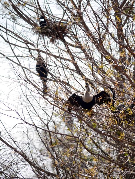 Ed Gaillard: birds &emdash; Anhinga nest, Green Cay