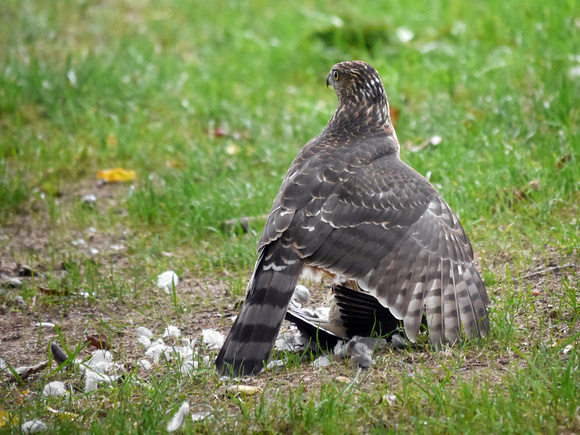 Ed Gaillard: birds &emdash; Sharp-Shinned Hawk and prey (Mourning Dove)