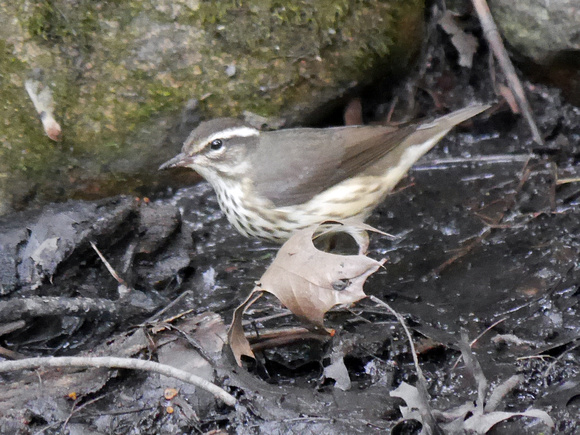 Ed Gaillard: birds &emdash; Louisiana Waterthrush, Central Park