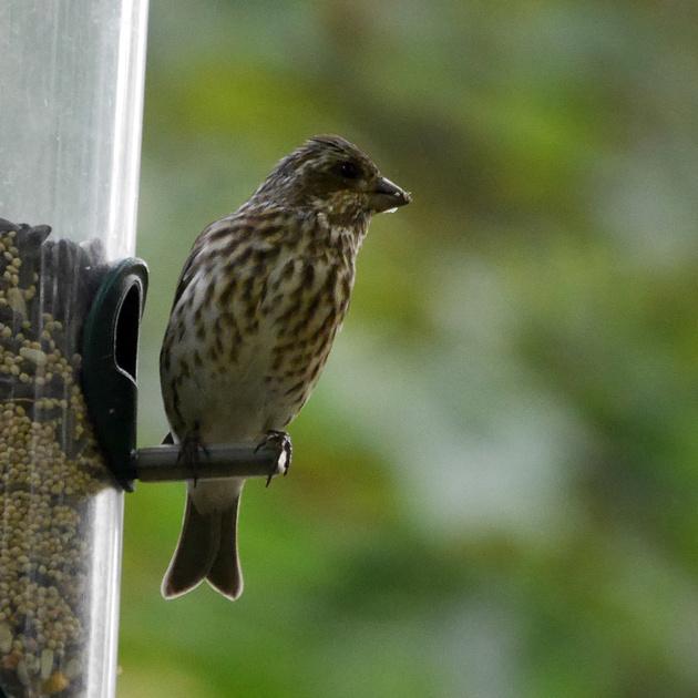 Ed Gaillard: birds &emdash; Purple Finch, Central Park