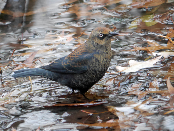 Ed Gaillard: birds &emdash; Rusty Blackbird in the Gill