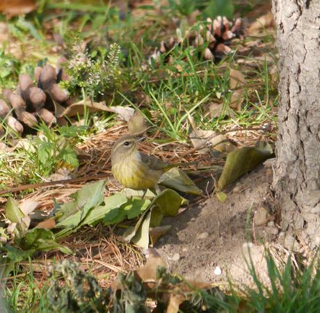 Ed Gaillard: birds &emdash; Palm Warbler, Randall's Island