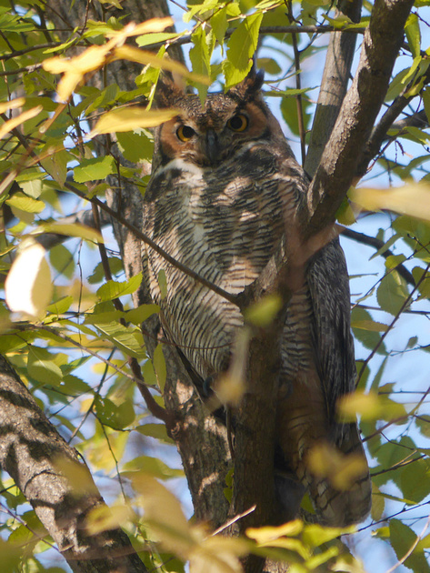 Ed Gaillard: recent &emdash; Great Horned Owl, Central Park