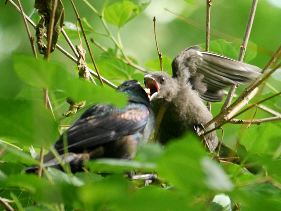 Ed Gaillard: birds &emdash; Grackle fledgling, Central Park