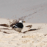 Lesser Black-Backed Gull and Ruddy Turnstone, New Providence, Bahamas