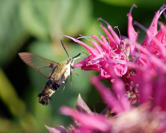 Ed Gaillard: recent &emdash; Hummingbird Moth, Hudson River Greenway