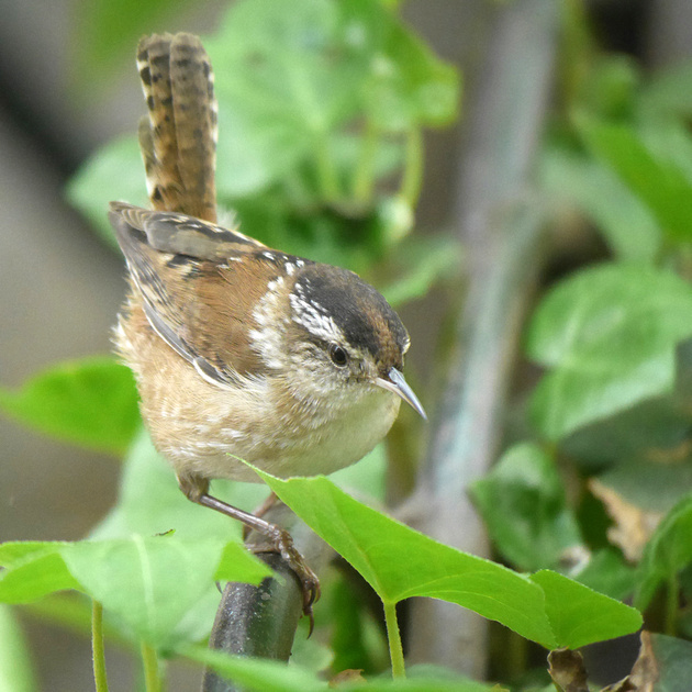 Ed Gaillard: birds &emdash; Marsh Wren, Bryant Park