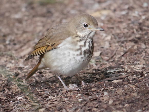 Ed Gaillard: birds &emdash; Hermit Thrush, International Paper Plaza