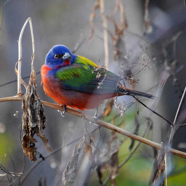 Ed Gaillard: birds &emdash; Painted Bunting, Prospect Park
