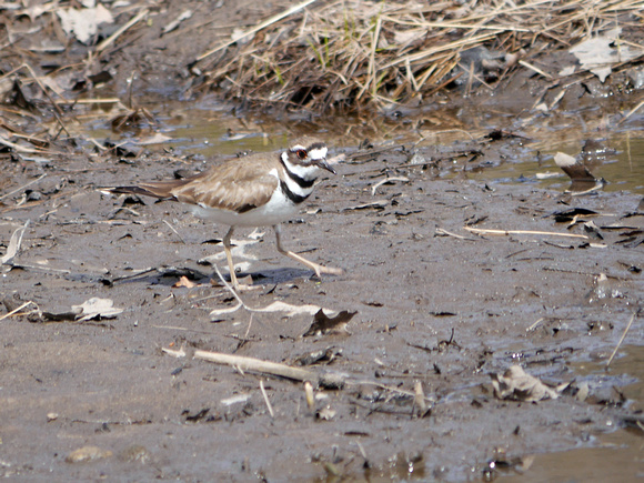 Ed Gaillard: birds &emdash; Killdeer, Rosedale NJ