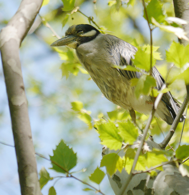 Ed Gaillard: birds &emdash; Yellow-Crowned Night Heron