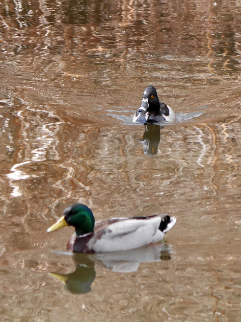 Ed Gaillard: birds &emdash; Ring-Necked and Mallard ducks, Upper Lobe of Central Park Lake