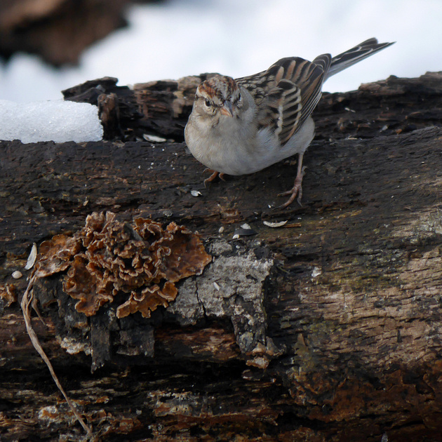 Ed Gaillard: birds &emdash; Chipping Sparrow and fungus
